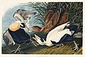 Illustration from Birds of America (1827) by John James Audubon, digitally enhanced by rawpixel-com 246.jpg