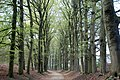 Impressive lane with enormous Beech trees at Mariendaal Schaarsbergen-Oosterbeek - panoramio.jpg