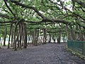 India - Kolkata - 11 - Great Banyan Tree (2798684535).jpg