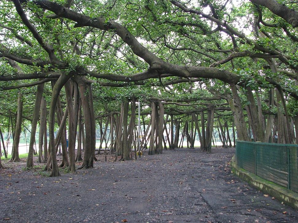 India - Kolkata - 11 - Great Banyan Tree (2798684535)