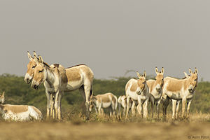 Little Rann of Kutch - Indian wild ass herd in Little Rann of Kutch