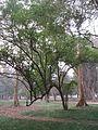 Indian Botanic Garden - Howrah 2012-01-29 1643.JPG