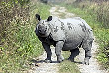 Correct veritably Rhino Single Wikipedia Horned allege that