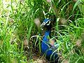 Indian Peafowl - Peacock.jpg
