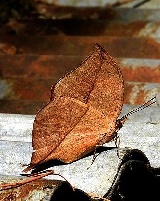 Sattal - Image: Indian oakleaf or dead leaf DSCN2192 11