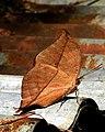 Indian oakleaf or dead leaf DSCN2192 11.jpg