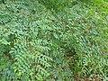 Indigofera tinctoria-1-papanasam-tirunelveli-India.jpg
