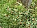 Indigofera trifoliata mitubakmtng01.jpg