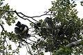 Indri indri (21994173376).jpg