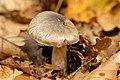 Inocybe.splendens.phaeoleuca.-.lindsey.jpg