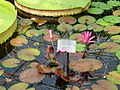 Interiors of Kew Gardens Water Lily House - Nymphaea Red Flare P1170617.JPG