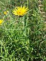 Inula ensifolia sl7.jpg