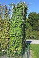 Ipomoea purpurea - Bergianska trädgården - Stockholm, Sweden - DSC00210.JPG