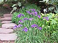 Iris Blooming at National Arboretum (14450635598).jpg
