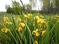 Iris pseudacorus - paleyellow iris - Flickr - Matt Lavin (5).jpg