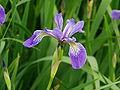 Iris versicolor 2.jpg