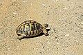 J26 527 griechische Landschildkröte.jpg
