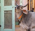 Jaisalmer-40-Kuh oeffnet Tuer-2018-gje.jpg