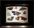 Jan van kessel, studio di farfalle.jpg