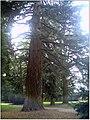 January Frost Botanic Garden Freiburg Giant Redwood Sequoia - Master Botany Photography 2014 - series Germany Diamond pictures - panoramio.jpg