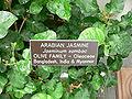 Jasminum sambac2.jpg