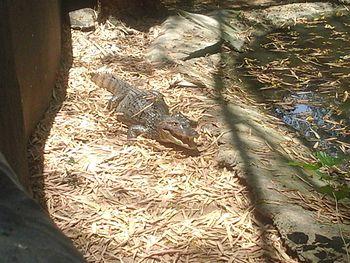 Jassim croc.2.jpg
