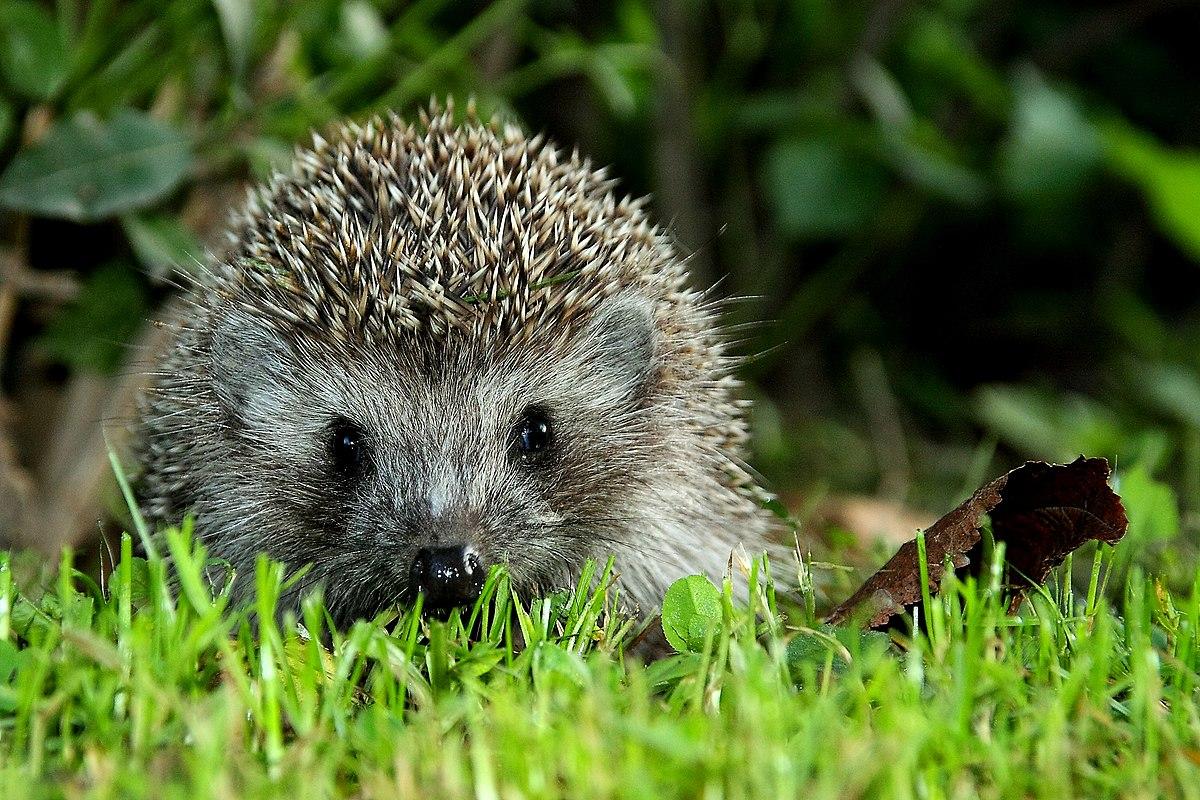 Hedgehog Auf Deutsch