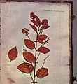 Jean-Jacques Rousseau - Page d'un herbier - Musée Carnavalet - Probably Ceanothus americanus.jpg