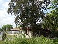 Jf5933Lubao San Nicolas Chrysophyllum cainito Pampangafvf 08.JPG