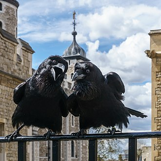 Ravens of the Tower of London - Jubilee and Munin, two of the Tower's ravens in 2016