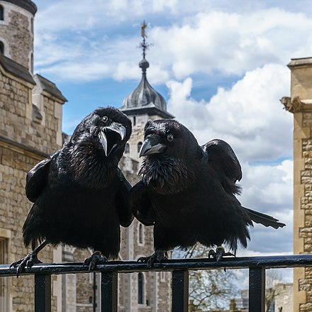 Two of the ravens Jubilee and Munin, Ravens, Tower of London 2016-04-30.jpg