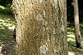 Juglans mandshurica var. sachalinensis 08.jpg