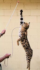 Ocelot Cats For Sale In Alberta