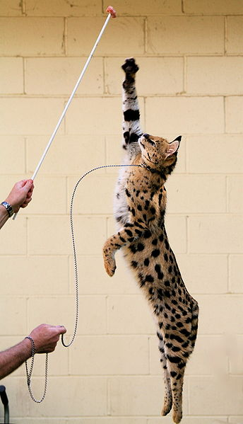 344px-Jumping_Serval