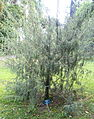 Juniperus cedrus - Jardim Botânico Tropical - Lisbon, Portugal - DSC06594.JPG