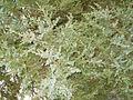 Juniperus chinensis 1.JPG