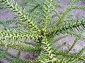Juvenile Araucaria Sapling.jpg