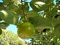 Kaki Blatt Frucht.jpg