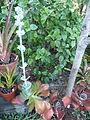 Kalanchoe luciae ssp. luciae2 (9692429535).jpg