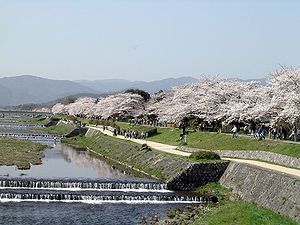 Cherry blossoms at the bank of Kamogawa river, Kyoto, Japan