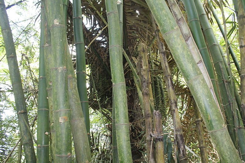 File:Kaong Palm Tree.JPG