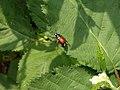 Katwijk - Phyllopertha horticola v2.jpg