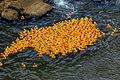 Ken-Ducky Derby 2009, lot of ducks.jpg