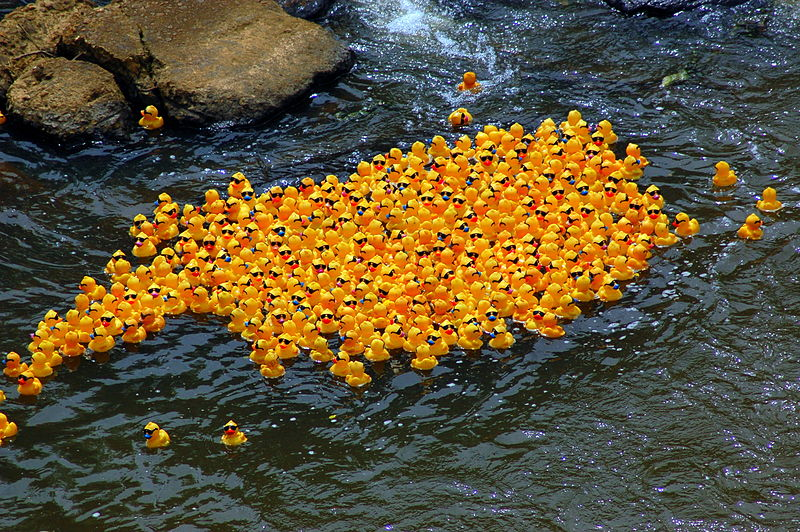 Rubber ducks in the 2009 Ken-Ducky Derby, floating along an inland stream.  Image credit: Tony Crescibene (CC-BY)