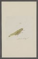 Kend - Print - Iconographia Zoologica - Special Collections University of Amsterdam - UBAINV0274 066 02 0087.tif