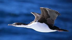King Cormorant in flight (6315596274).jpg