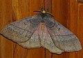 King Monkey Moth (Jana tantalus) (12718497395).jpg