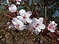 Kirschpflaume Prunus cerasifera Blüten im Frühling.jpg