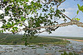 Knob Fig (Ficus sansibarica) over Olifants River (16709523003).jpg