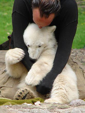 Knut (polar bear) - Thomas Dörflein playing with Knut in May 2007